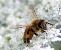 This tiny honeybee (Apis mellifera) is a member of a keystone species whose function as a pollinator created over $17 billion in U.S. agricultural value in 2009. Total income of U.S. public libraries in 2009: $11 billion.